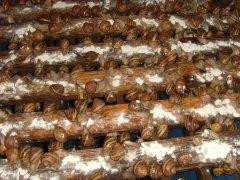 равлики Helix
