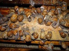 ферма равликів